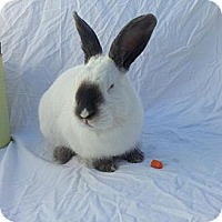 Adopt A Pet :: Dusty - El Cerrito, CA