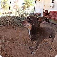 Adopt A Pet :: Chance - Las Cruces, NM