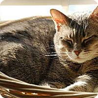 Domestic Shorthair Cat for adoption in Herndon, Virginia - Nellie