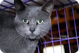 Russian Blue Cat for adoption in Danville, Kentucky - Charlie
