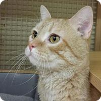 Adopt A Pet :: Ginger Ale - Merrifield, VA