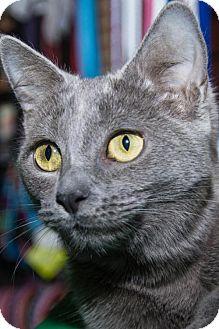 Domestic Shorthair Cat for adoption in Philadelphia, Pennsylvania - Ashes