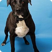 Adopt A Pet :: Big Boy - Roanoke, VA
