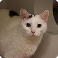 Adopt A Pet :: SCRIMSHAW - Boston, MA