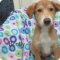 Adopt A Pet :: Bently - Bartonsville, PA