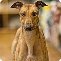 Adopt A Pet :: Tess - Aurora, IN