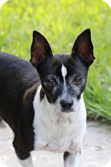 Chihuahua Mix Dog for adoption in Gainesville, Florida - Charlie