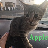 Adopt A Pet :: APPLE - Glendale, AZ