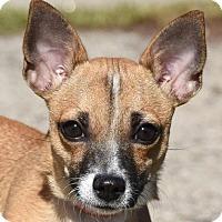 Adopt A Pet :: PEANUT - New Haven, CT