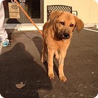 Adopt A Pet :: Lillian - Cashiers, NC