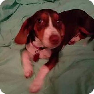 Beagle/Dachshund Mix Puppy for adoption in Glen St Mary, Florida - Bella