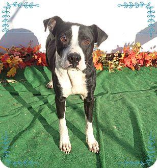 Boxer/Labrador Retriever Mix Dog for adoption in Marietta, Georgia - KING