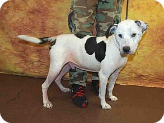Pit Bull Terrier Dog for adoption in Louisville, Kentucky - ALABAMA
