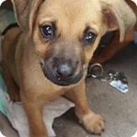 Adopt A Pet :: Lil Adam - Hillside, IL