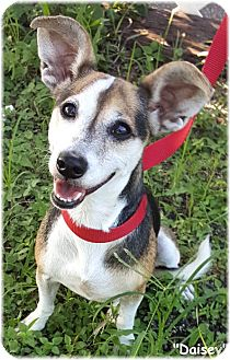 Jack Russell Terrier Mix Dog for adoption in Key Largo, Florida - Daisey