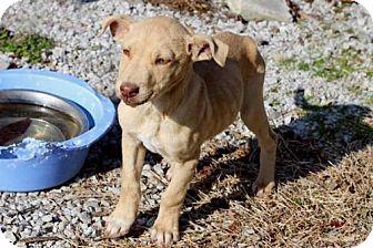 Labrador Retriever Mix Puppy for adoption in Washington, D.C. - PUPPY ZEUS