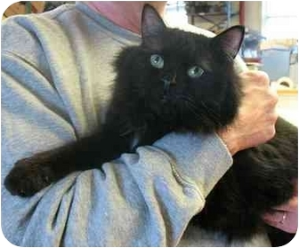 Domestic Longhair Cat for adoption in Plainville, Massachusetts - BooBoo Bear