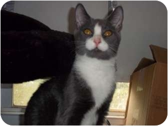 Domestic Shorthair Kitten for adoption in feasterville, Pennsylvania - lightning