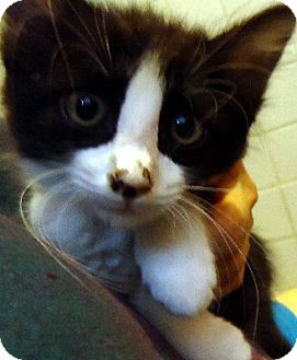 Domestic Mediumhair Kitten for adoption in Jacksonville, Florida - Prescott