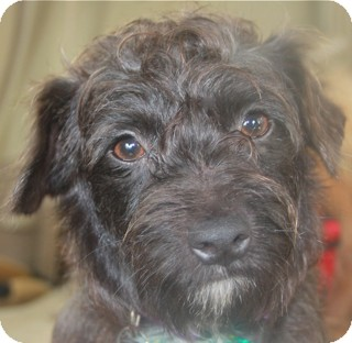 Schnauzer (Miniature)/Fox Terrier (Wirehaired) Mix Dog for adoption in Norwalk, Connecticut - Carmine - adoption pending