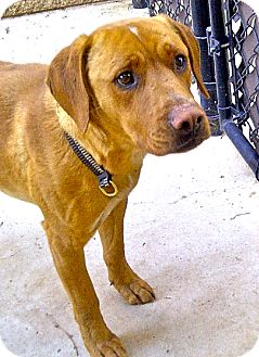 Labrador Retriever Mix Dog for adoption in Escondido, California - Brady