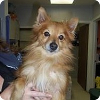 Adopt A Pet :: Larry - Shawnee Mission, KS