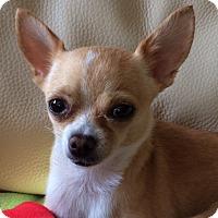 Adopt A Pet :: Cute Chloe - Vacaville, CA