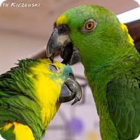 Adopt A Pet :: Clare - Villa Park, IL