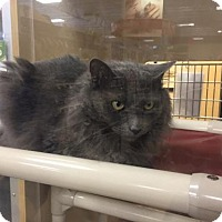 Adopt A Pet :: Misty - O'Fallon, MO