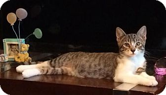 American Shorthair Cat for adoption in Staten Island, New York - Kangaroo