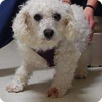 Adopt A Pet :: Amora - Bellbrook, OH
