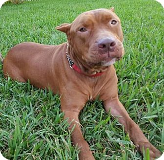 Pit Bull Terrier Dog for adoption in Royal Palm Beach, Florida - Gotti