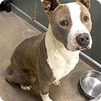Pit Bull Terrier Mix Dog for adoption in Albuquerque, New Mexico - Sawyer