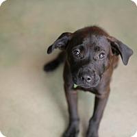 Adopt A Pet :: Aggie - San Antonio, TX