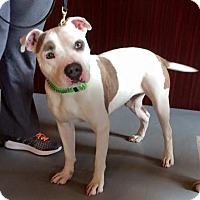 American Staffordshire Terrier/American Bulldog Mix Dog for adoption in Franklinville, New Jersey - Petey