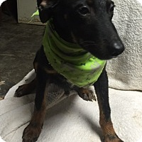Adopt A Pet :: Herbie (adoption is pending) - Albany, NY