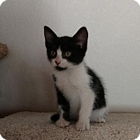 Domestic Shorthair Kitten for adoption in Paradise, California - Tinker