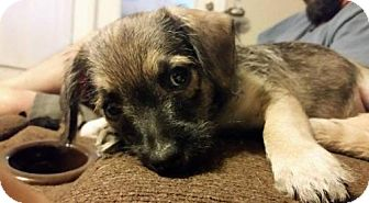 Chihuahua/Poodle (Miniature) Mix Dog for adoption in Von Ormy, Texas - Crash