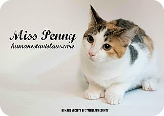 Domestic Shorthair Kitten for adoption in Modesto, California - Miss Penny