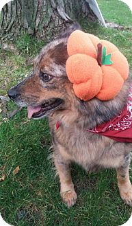 Australian Shepherd Mix Dog for adoption in Detroit Lakes, Minnesota - Colonel