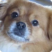 Tibetan Spaniel Dog for adoption in Matawan, New Jersey - Bear