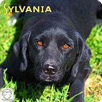 Labrador Retriever Mix Dog for adoption in Washburn, Missouri - Sylvania