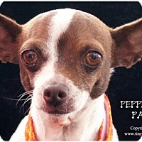 Adopt A Pet :: PeppermintPatty - Simi Valley, CA