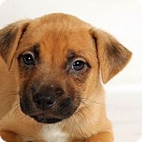 Adopt A Pet :: Noah Boxer Mix - St. Louis, MO