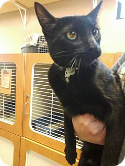 Domestic Shorthair Cat for adoption in Idaho Falls, Idaho - Ryan