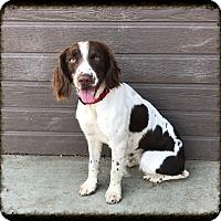 English Springer Spaniel Dog for adoption in Los Alamitos, California - Milo Spotticus