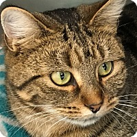 Domestic Shorthair Cat for adoption in Clayville, Rhode Island - Calypso
