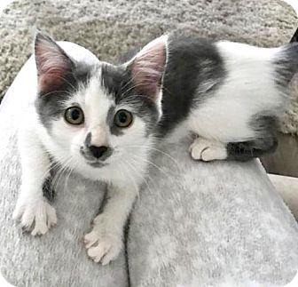 Domestic Shorthair Kitten for adoption in Hamilton, Ontario - Layla