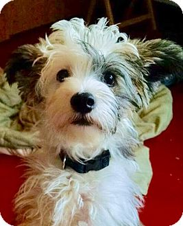 Chinese Crested Puppy for adoption in Lansing, Michigan - Yoshi in Michigan