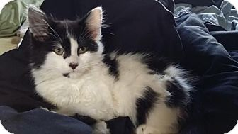 Domestic Mediumhair Cat for adoption in Redmond, Washington - Humble